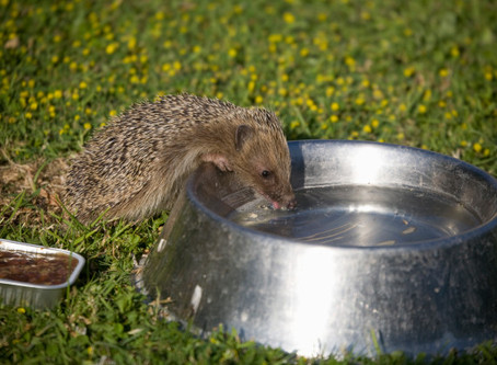 PRICKLY HEAT Brits urged to save hundreds of baby hedgehogs fighting for life in 39C heatwave