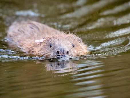 Beavers' first dam on Exmoor for 400 years