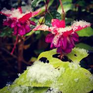 Fuschias in the snow