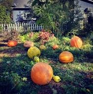Giant pumpkin harvest