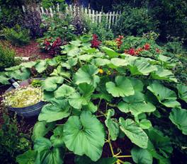 Pumpkins beginning to take off