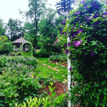Clematis and gazebo