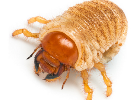 Grubs: What you need to know about the most destructive  & common of all lawn pests