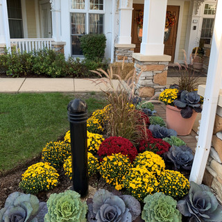 Fall Mums, Cabbage, and Kale