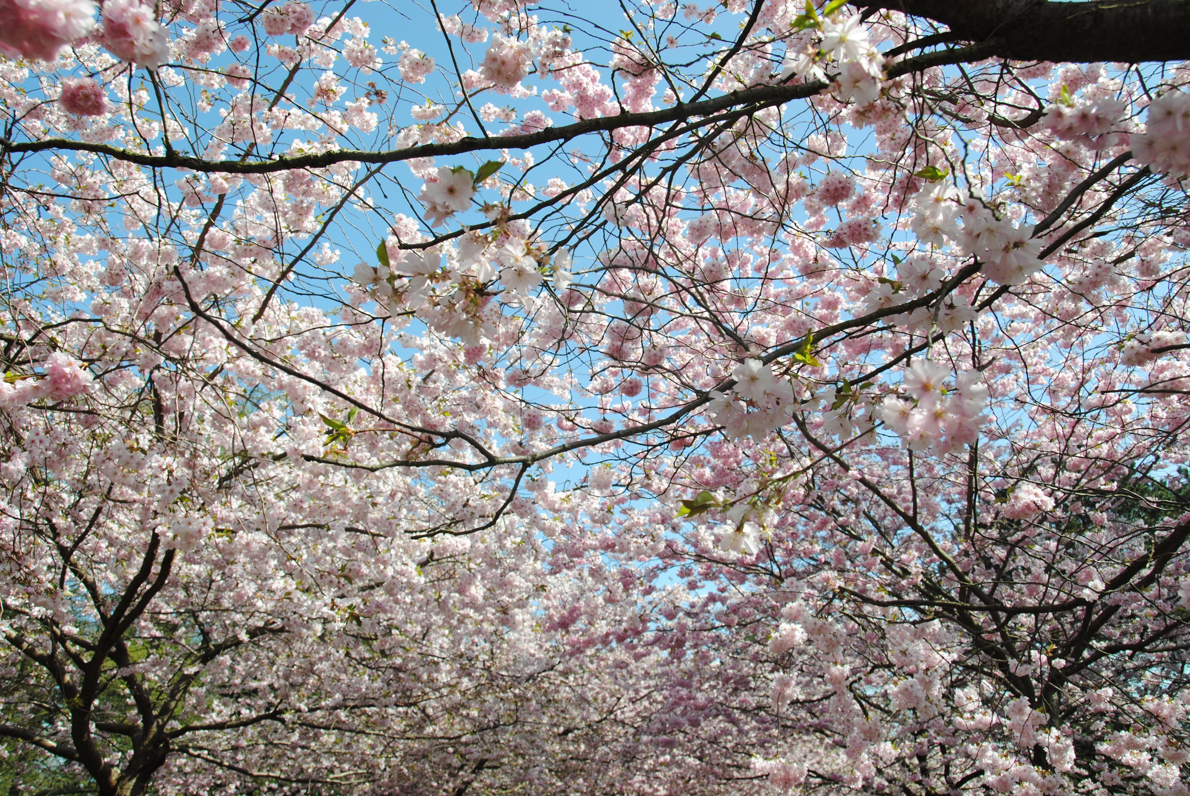 Cherry blossom in Copenhagen