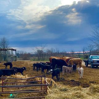 cattle lot.jpg