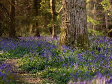 Spring bluebells at sunrise at Banstead woods