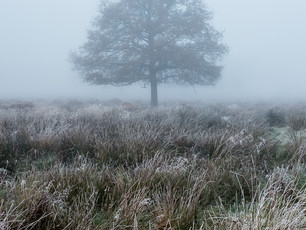 A lone tree shrouded in fog on a morning at Richmond Park, London (DSCF2735)
