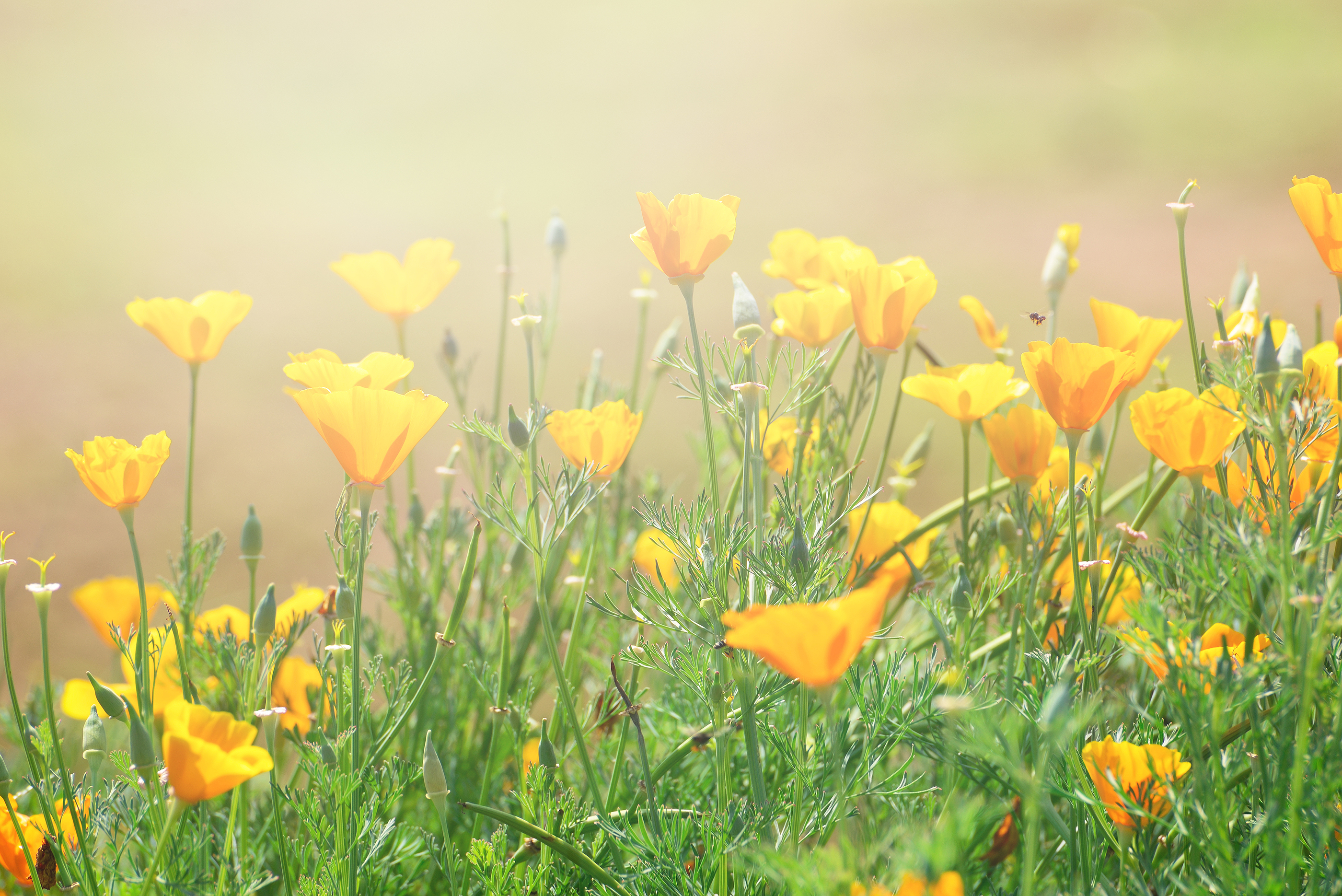 Close-up Of California Golden Poppy Flowers, Yellow Flowers Summer Spring Garden
