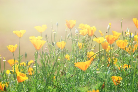 Field of yellow poppies in the sun
