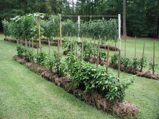 Potato Gardens Made Easy! Ask Me How!