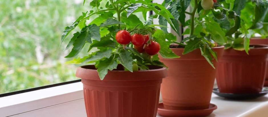 Як виростити томати черрі вдома