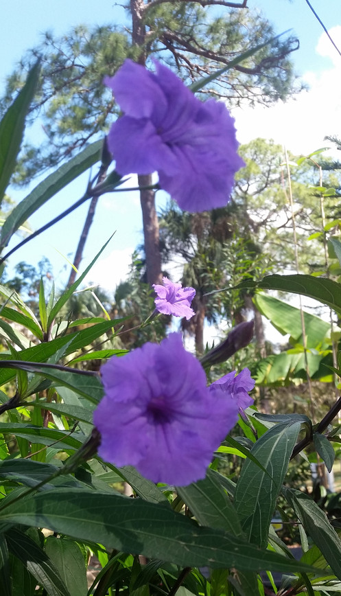 1 Well Rooted Mexican Petunia Purple Showers Ruellia Brittoniana Starter Plant With 5 Cuttings