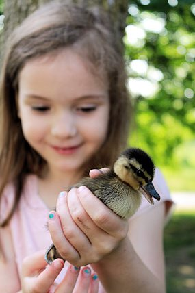 A little girl meeting a duckling