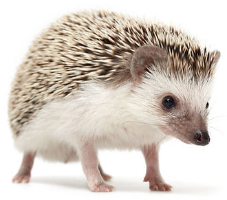 Amazing animal ambassadors for travelling shows like Pins the hedgehog