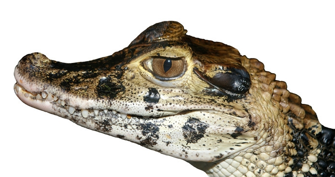 Crocodilian