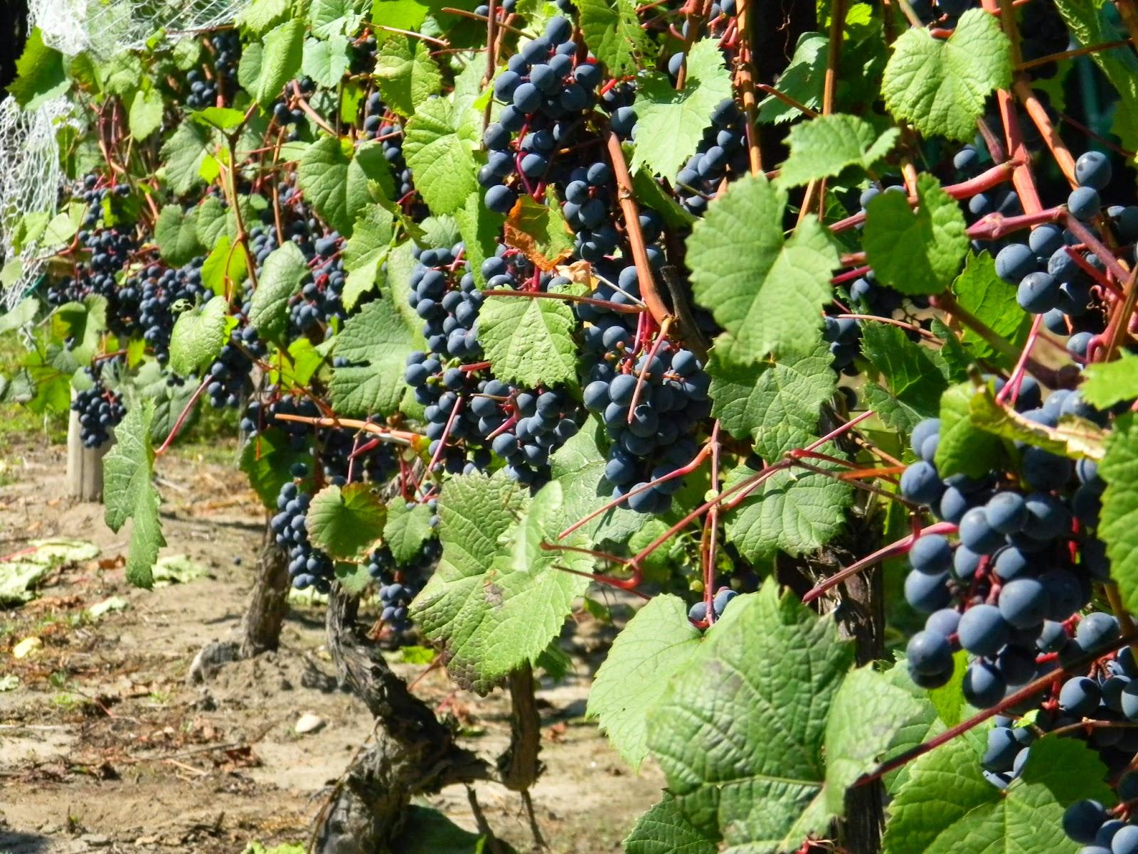 Cabernet_Severnyi-2012-harvest_Carone.JPG