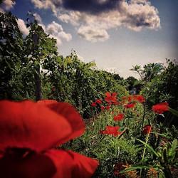 2014_Poppies.jpg