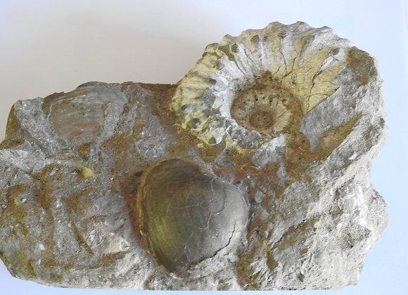 Liparoceras fossil multi block