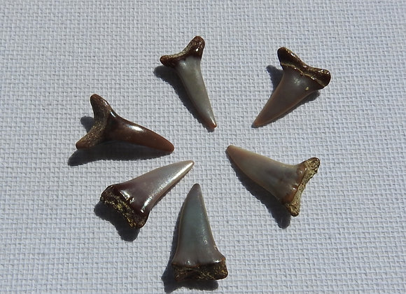 sharks teeth fossils