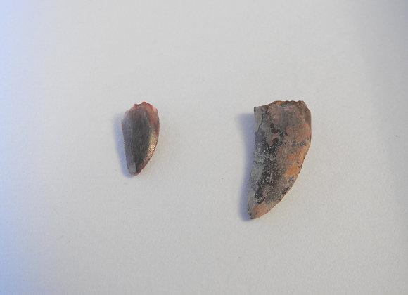 Raptor teeth fossils
