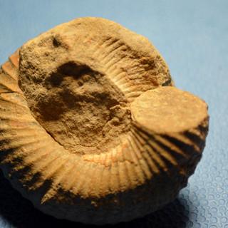 hetromorph fossil