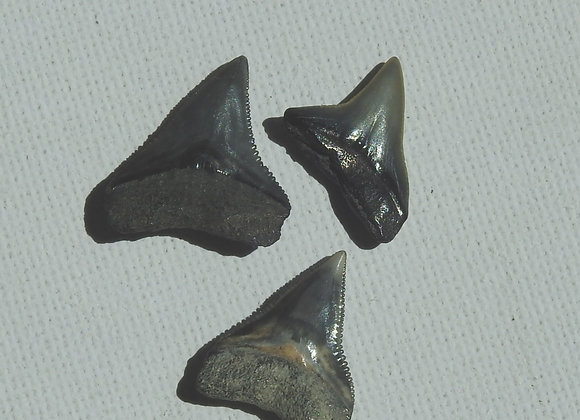 miocene sharks teeth fossils