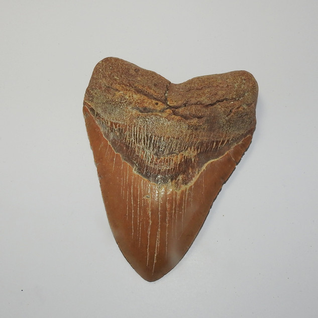 megalodon tooth fossil