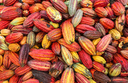 A%20view%20of%20collected%20cocoa%20pods%20in%20Huayhuantillo%20village%20near%20Tingo%20M