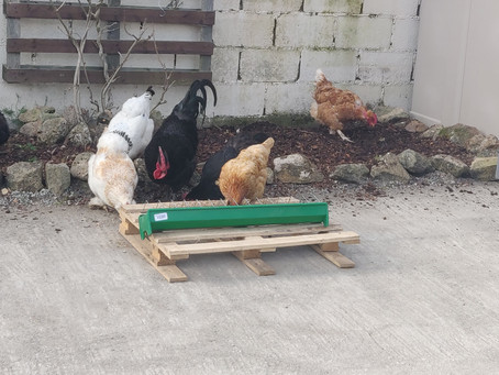 Chickens arrive at their new home!!!