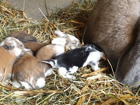 Pet rabbits are coming to stay!!  Konijnen als huisdier komen eraan !!