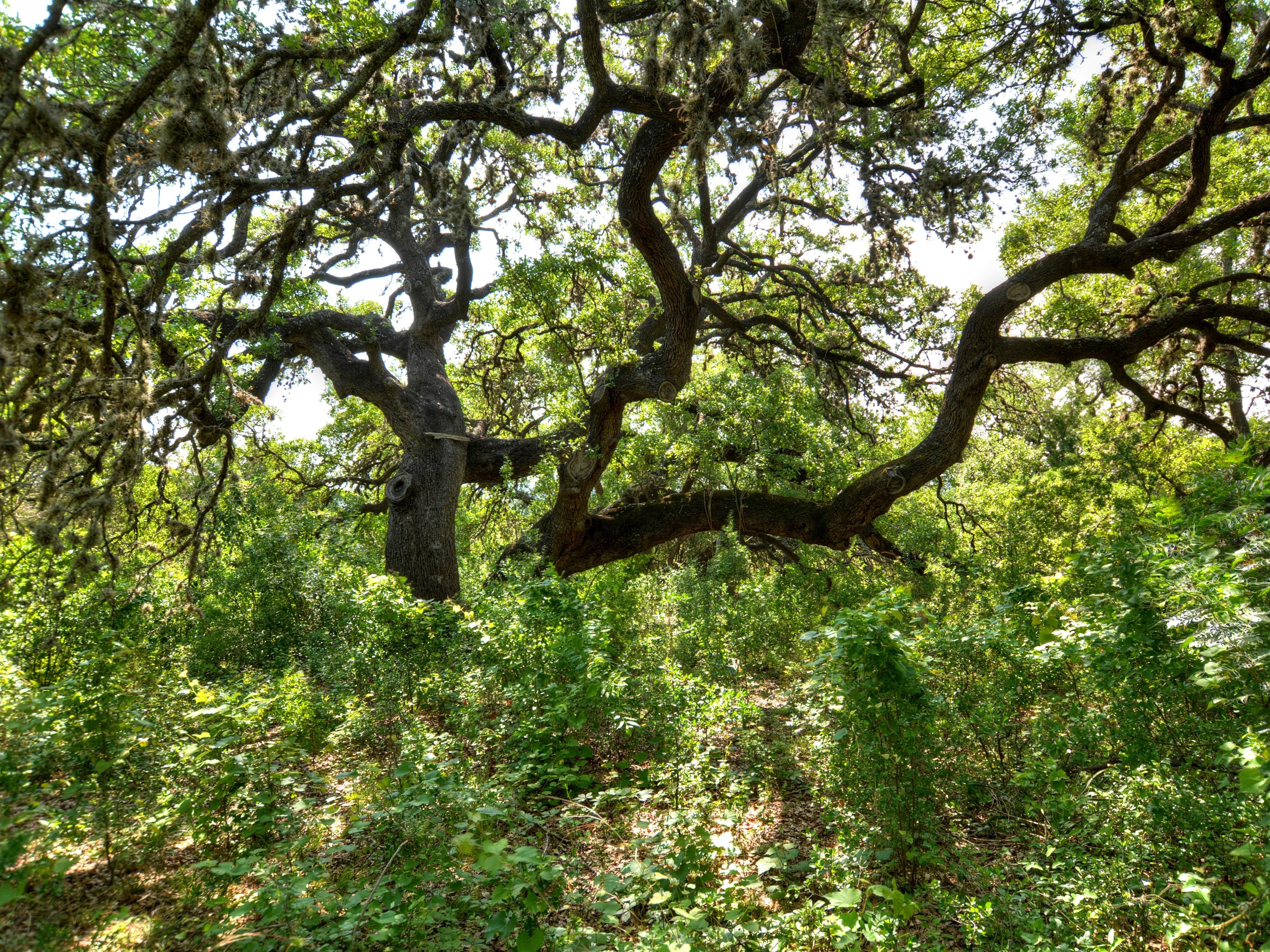 027_Oak Tree