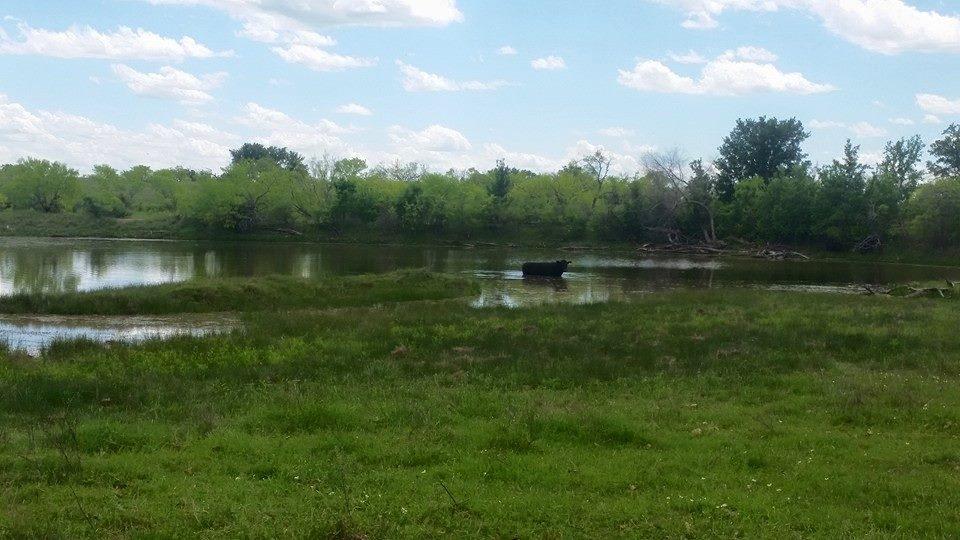 cow in tank