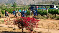 Bougainvillea in the vineyard.