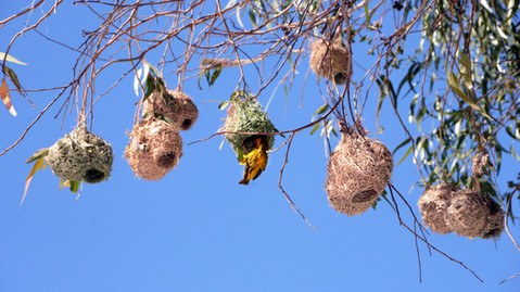 A colony of bird nests hang from a willow tree.