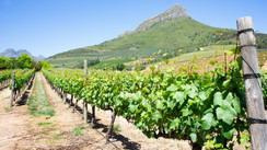 Mountainside vineyard.