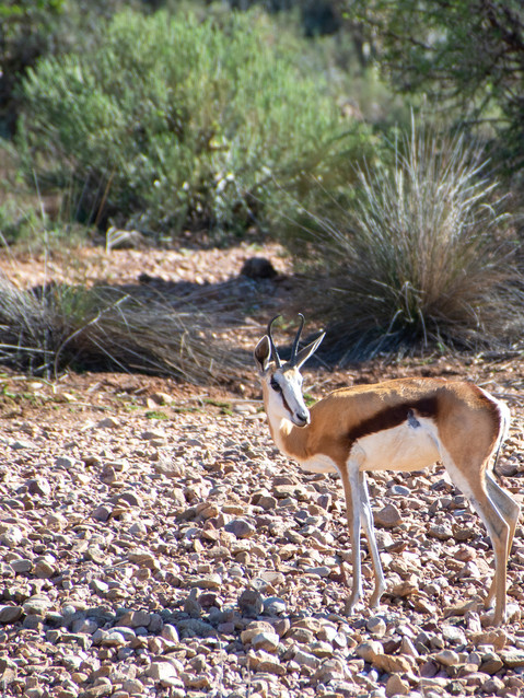 Springbok on stones.