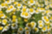 manzanilla-propiedades-saludables-2.jpg