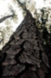 ocotea tree.jpg