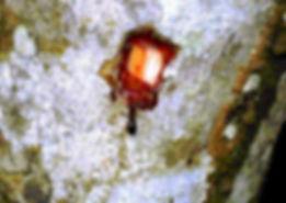 sangre de drago arbol croton lechleri.jp