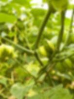 El-Sacha-Inchi-una-planta-medicinal-con-