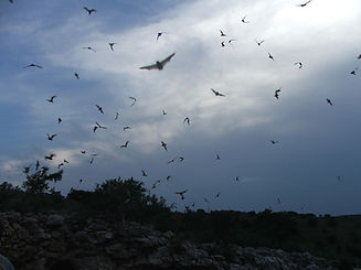 1024px-Free-tailed_bats.jpg