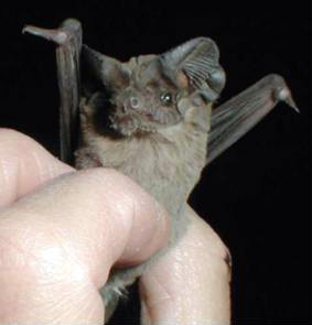 Do bats control mosquitoes?