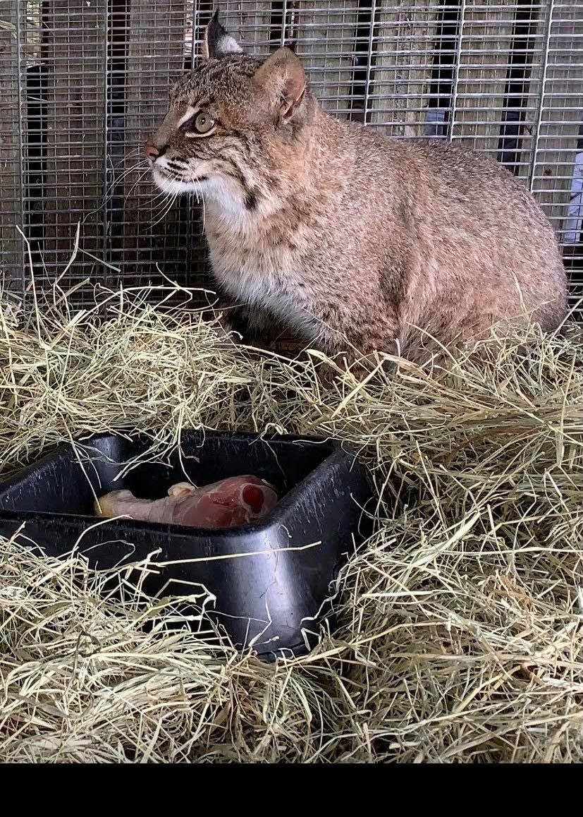 Camille The Bobcat