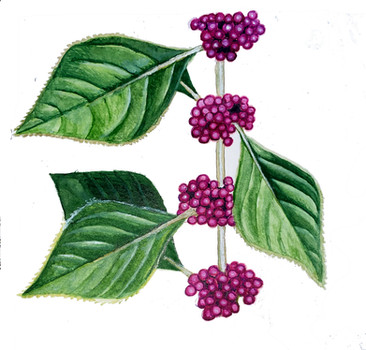 French Mulberry