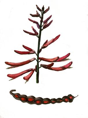 Coralbean