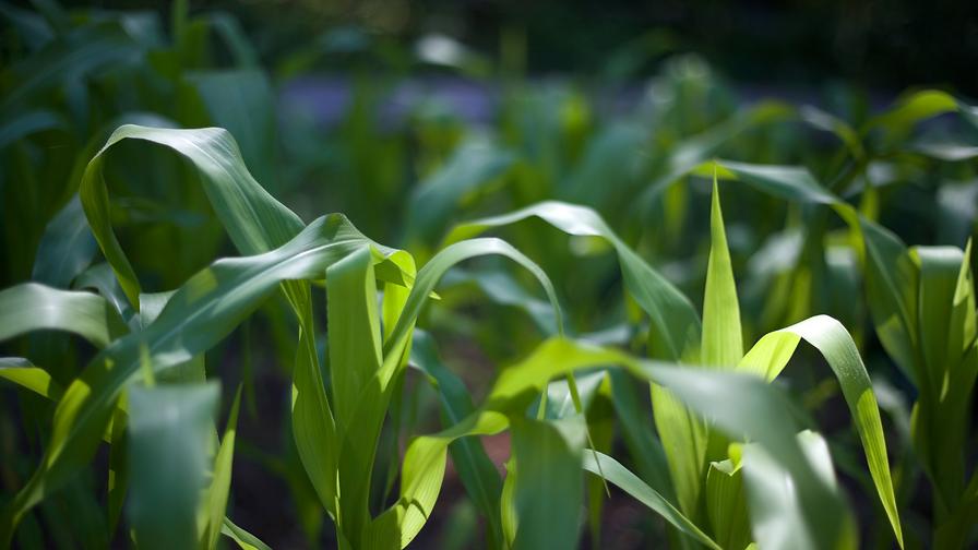 corn summer.png