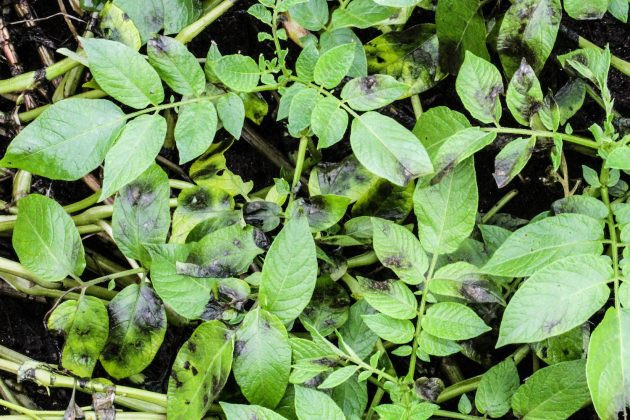 The initial symptoms of late blight. Photo courtesy of Andy Robinson, North Dakota State University.