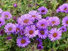 Aster novae-angliae , Purple Dome, Aster