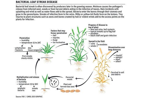 46-bacterial-leaf-streak-2.jpg